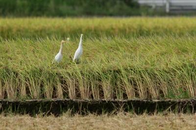 soku_28486.jpg :: 風景 自然 田畑 水田 動物 鳥 野鳥 自然の鳥 未記入鳥