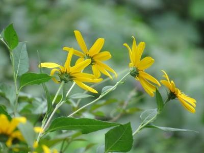 soku_28490.jpg :: 植物 花 黄色い花