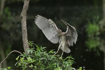soku_28495.jpg :: 動物 鳥 ハシビロコウ