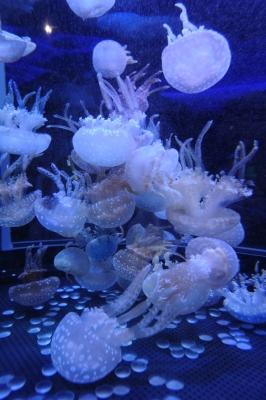 soku_28555.jpg :: 動物 海の生物 クラゲ
