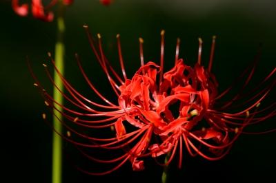 soku_28594.jpg :: 植物 花 彼岸花 ヒガンバナ
