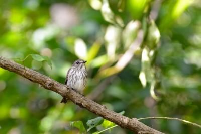 soku_28600.jpg :: 動物 鳥 野鳥 自然の鳥 未記入鳥