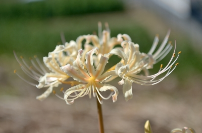 soku_28644.jpg :: 植物 花 白い花