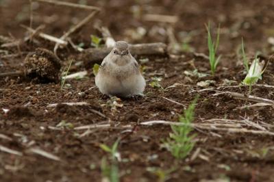 soku_28661.jpg :: 動物 鳥 野鳥 自然の鳥 未記入鳥 モフモフ