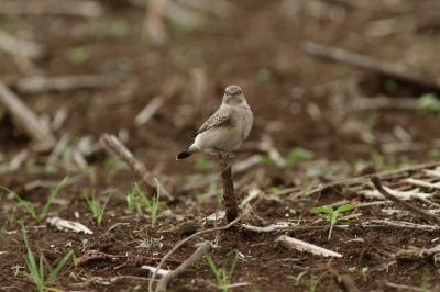 soku_28672.jpg :: 動物 鳥 野鳥 自然の鳥 未記入鳥