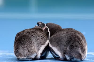 soku_28735.jpg :: 動物 鳥 ペンギン