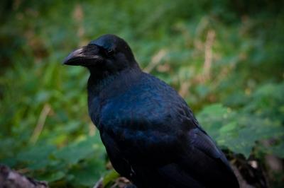 soku_28750.jpg :: 動物 鳥 カラス