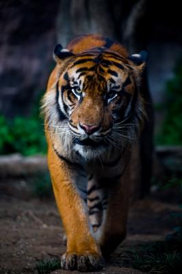 soku_28754.jpg :: 動物 哺乳類 虎 トラ