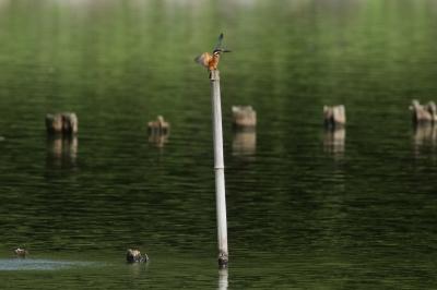 soku_28767.jpg :: 動物 鳥 野鳥 自然の鳥 カワセミ
