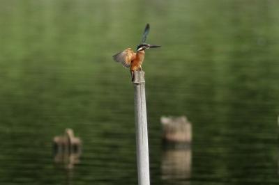 soku_28768.jpg :: 動物 鳥 野鳥 自然の鳥 カワセミ