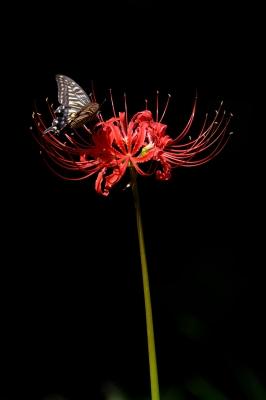 soku_28773.jpg :: 植物 花 彼岸花 ヒガンバナと蝶