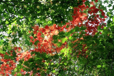 soku_28803.jpg :: 風景 自然 紅葉 赤い紅葉