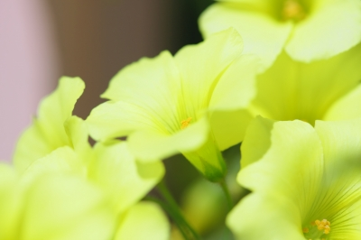 soku_28817.jpg :: 植物 花 黄色い花