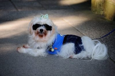 soku_28831.jpg :: 動物 ペット 犬 イヌのサングラス