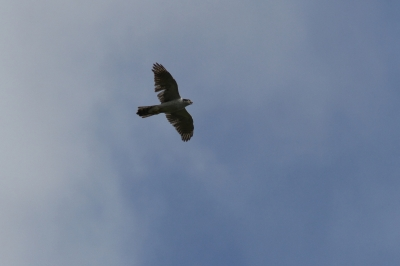 soku_28835.jpg :: 動物 鳥 猛禽類