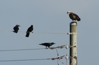 soku_28843.jpg :: 動物 鳥 猛禽類 カラス