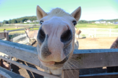 soku_28844.jpg :: 動物 哺乳類 驢馬 ロバ