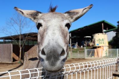 soku_28845.jpg :: 動物 哺乳類 驢馬 ロバ