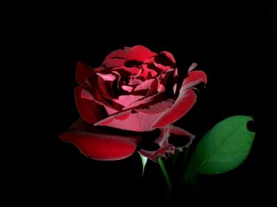 soku_28883.jpg :: 植物 花 薔薇 黒とバラ