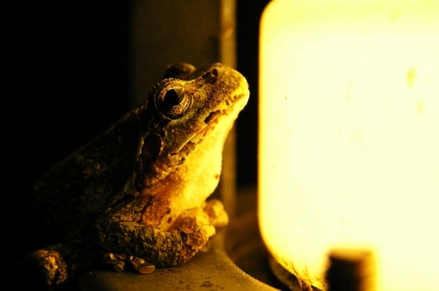 soku_28903.jpg :: 動物 爬虫類 両生類 カエル