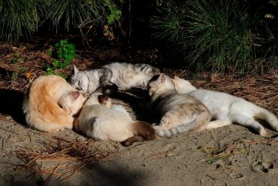 soku_28906.jpg :: 動物 哺乳類 猫 ネコたち