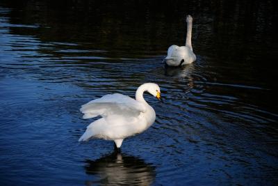 soku_28963.jpg :: 動物 鳥 白鳥 ハクチョウ