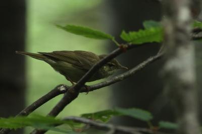 soku_28974.jpg :: 動物 鳥 野鳥 自然の鳥 未記入鳥