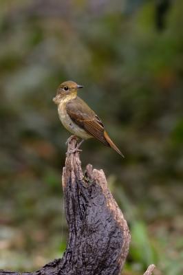 soku_29014.jpg :: 動物 鳥 野鳥 自然の鳥 未記入鳥