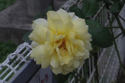 soku_29112.jpg :: 植物 花 黄色い花