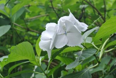 soku_29159.jpg :: 植物 花 白い花