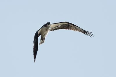 soku_29171.jpg :: 動物 鳥 猛禽類 鷲 ワシ