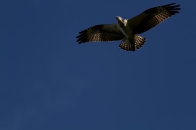soku_29186.jpg :: 動物 鳥 野鳥 自然の鳥 ミサゴ