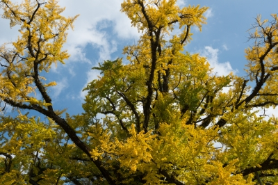 soku_29191.jpg :: 風景 自然 紅葉 黄色い色づき