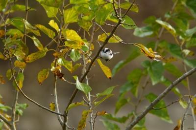 soku_29194.jpg :: 動物 鳥 野鳥 自然の鳥 エナガ
