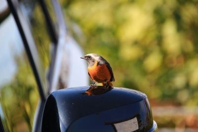 soku_29204.jpg :: 動物 鳥 野鳥 自然の鳥 ジョウビタキ