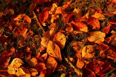 soku_29215.jpg :: 風景 自然 紅葉 落ち葉