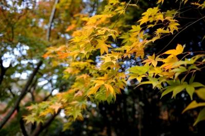 soku_29240.jpg :: 風景 自然 紅葉 黄色い紅葉