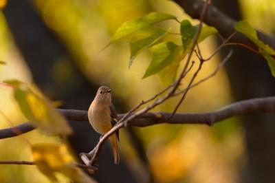 soku_29296.jpg :: 動物 鳥 野鳥 自然の鳥 ジョウビタキ