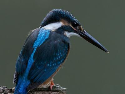 soku_29297.jpg :: 動物 鳥 野鳥 自然の鳥 カワセミ