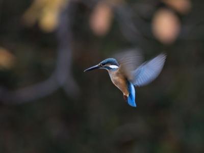soku_29299.jpg :: 動物 鳥 野鳥 自然の鳥 カワセミ ホバリング