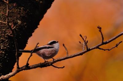 soku_29311.jpg :: 動物 鳥 野鳥 自然の鳥 エナガ