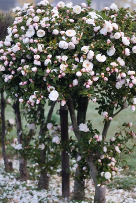 soku_29318.jpg :: 植物 花 椿