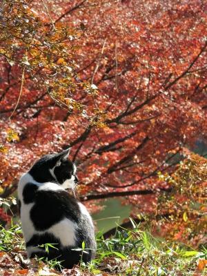 soku_29401.jpg :: PowerShotG15 水分 湖 コンデジ埼玉 lock 風景 自然 紅葉 赤い紅葉 動物 哺乳類 猫 ネコ ぬこ(笑)