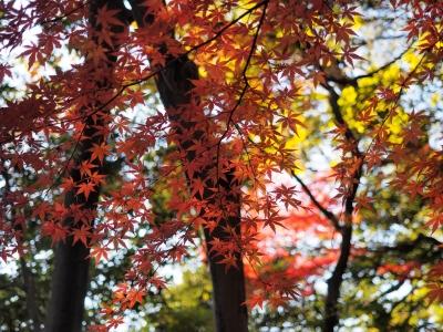 soku_29405.jpg :: 風景 自然 紅葉 赤い紅葉