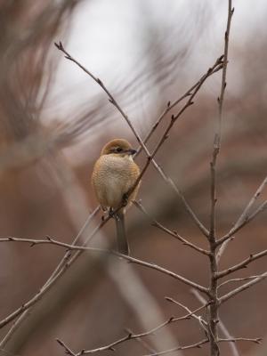 soku_29454.jpg :: 動物 鳥 野鳥 自然の鳥 モズ メス