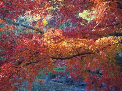 soku_29458.jpg :: 風景 自然 紅葉 赤い紅葉 楓