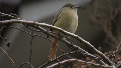 soku_29466.jpg :: 動物 鳥 野鳥 自然の鳥 小鳥