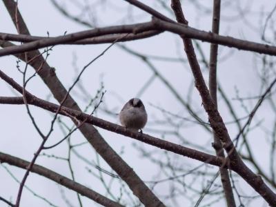 soku_29491.jpg :: 動物 鳥 野鳥 自然の鳥 エナガ