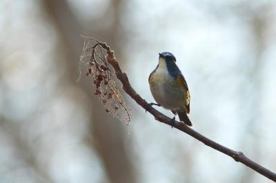 soku_29523.jpg :: 動物 野鳥 ルリビタキ