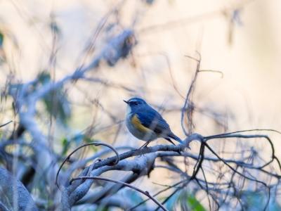 soku_29531.jpg :: 動物 鳥 野鳥 自然の鳥 ルリビタキ